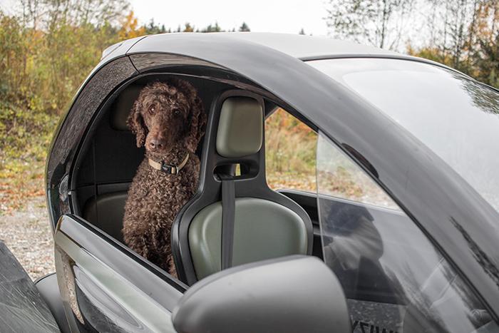 Königspudel auf dem Rücksitz des Renault Twizy.