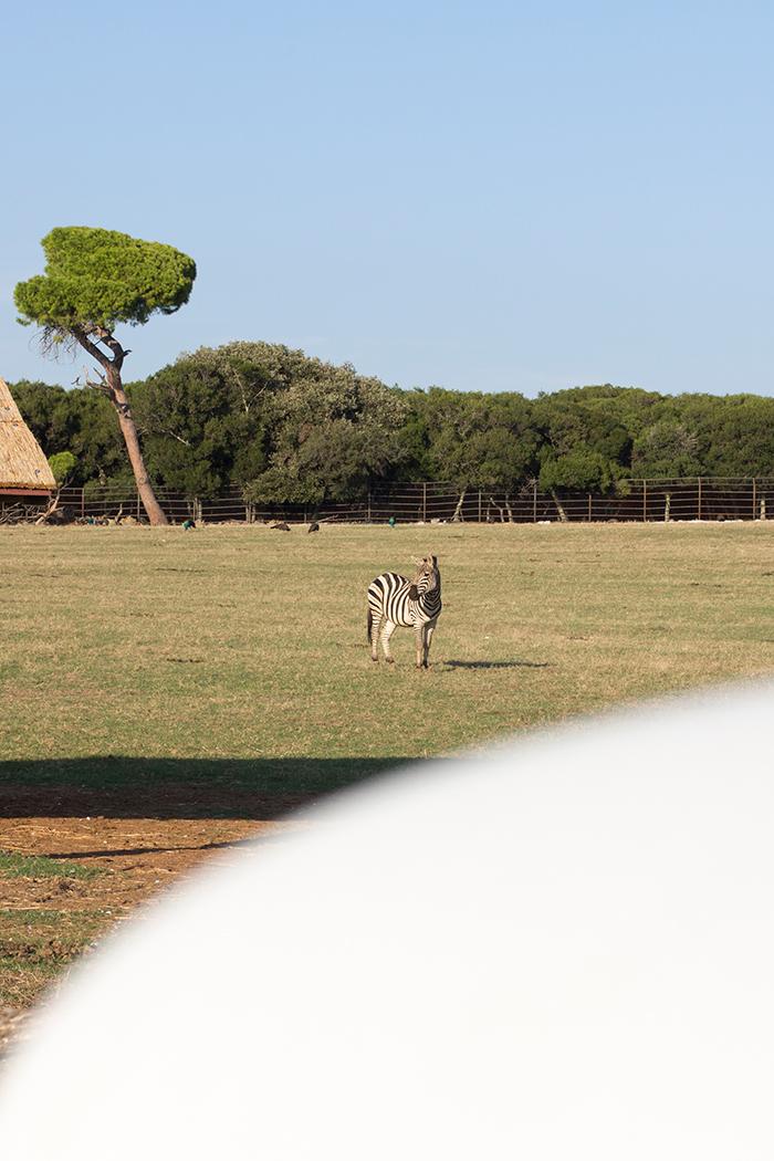 Ein Zebra im Brijuni Nationalpark