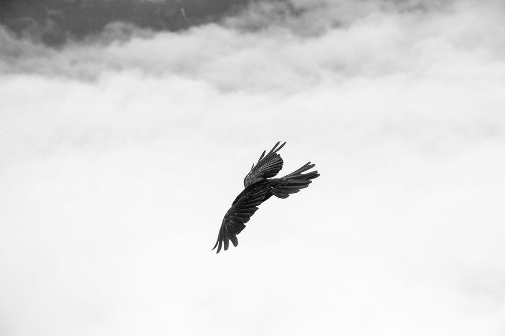 Gleitender Vogel in schwarzweiß